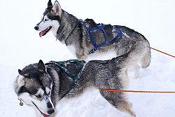 Siberian husky1.jpg