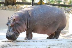 Hippopotamus heading pic.jpg