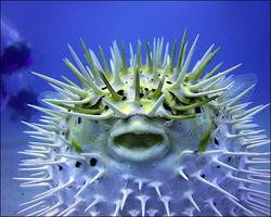 The Puffer Fish.jpg