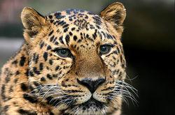 Amurleopard-03.jpg