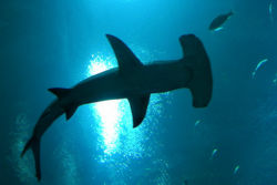 Hammerhead picture seen from down side