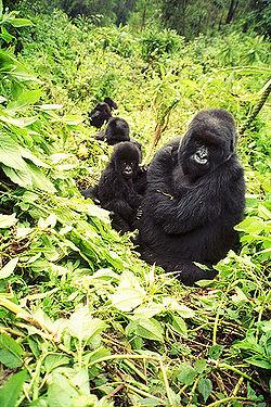 Mountain gorilla line.jpg