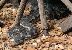 Carpet Python.jpg