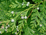 Leyland cypress - CreationWiki, the encyclopedia of creation science