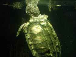 Alligator snapping turtle - CreationWiki, the encyclopedia of