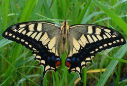 Aswallowail butterfly.jpg