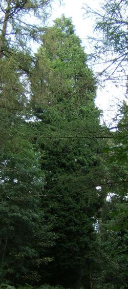 Cupressus leylandii0.jpg