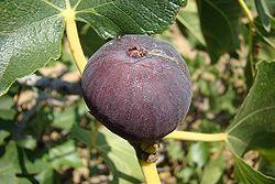 Edible fig.jpg