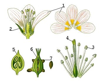petal 2- sepal 3- anther 4- stigma 5- ovary 6- ovary 7- ovuleOvule Flower