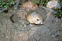 Kangaroo Rat.jpg