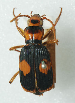 Pheropsophus verticalis.jpg