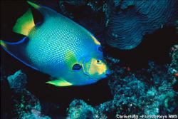 Queen Angelfish noaa.jpg