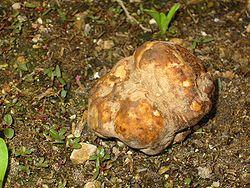 Desert truffle.jpg