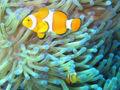 800px-Common clownfish.jpg
