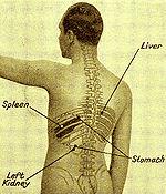 spleen - creationwiki, the encyclopedia of creation science, Human Body