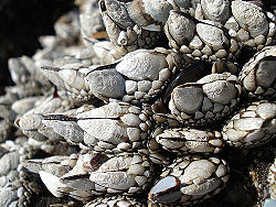 Barnacle Creationwiki The Encyclopedia Of Creation Science