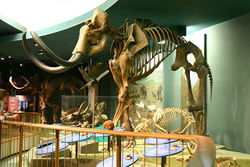 Woolly Mammoth Skeleton.jpg