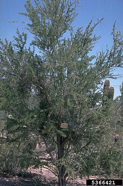 Desert ironwood.jpg