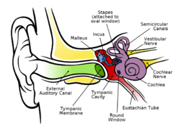 Anatomy of the Human Ear.png