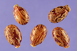 Castorbean seeds Ricinus communis.jpg