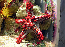 Red-knobbed starfish.jpg