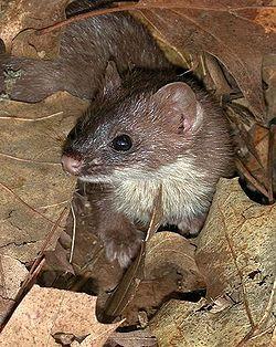 Weasel medium.jpg