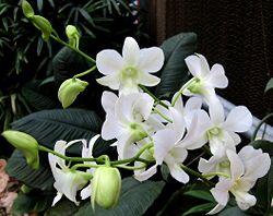 Vanilla orchid flower 2.jpg