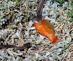 Snakeeatfish.jpg