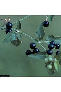 American black nightshade berries.jpg