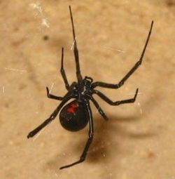 Black Widow Spider Picture.JPG