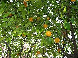 Citrus Sinesis.jpg