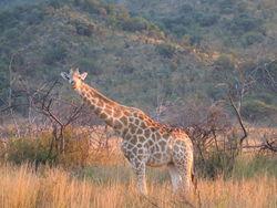 Giraffidae1.jpg