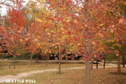 Maple trees.jpg