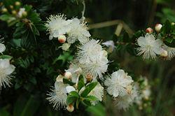 Myrtus communis.jpg