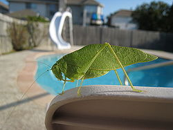 Katydid by a pool.jpg