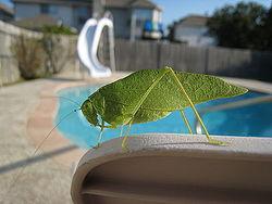 Katydid by a pool.jpg