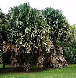 Talipot palm 2.jpg