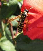 Wasp on a rose.jpg