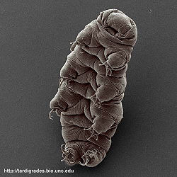 Micrograph of an adult water bear.jpg