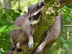 Sleeping Raccoon.jpg