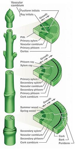 Stem-cross-section.jpg
