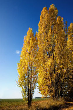 YELLOWpoplar.jpg