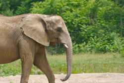 African elephant 2.jpg