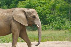 African elephant 2.jpg