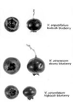 Blueberry Creationwiki The Encyclopedia Of Creation Science