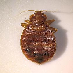 Adult Bedbug.jpg