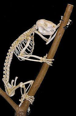 Koalaskeleton.jpg