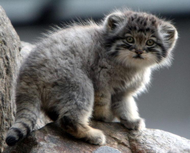 File:Manul Kitten.jpg