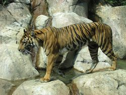 Sumatran-tiger-walking-across-rocks-pv.jpg
