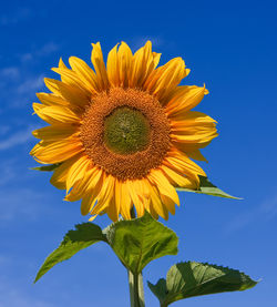 Common sunflower.jpg